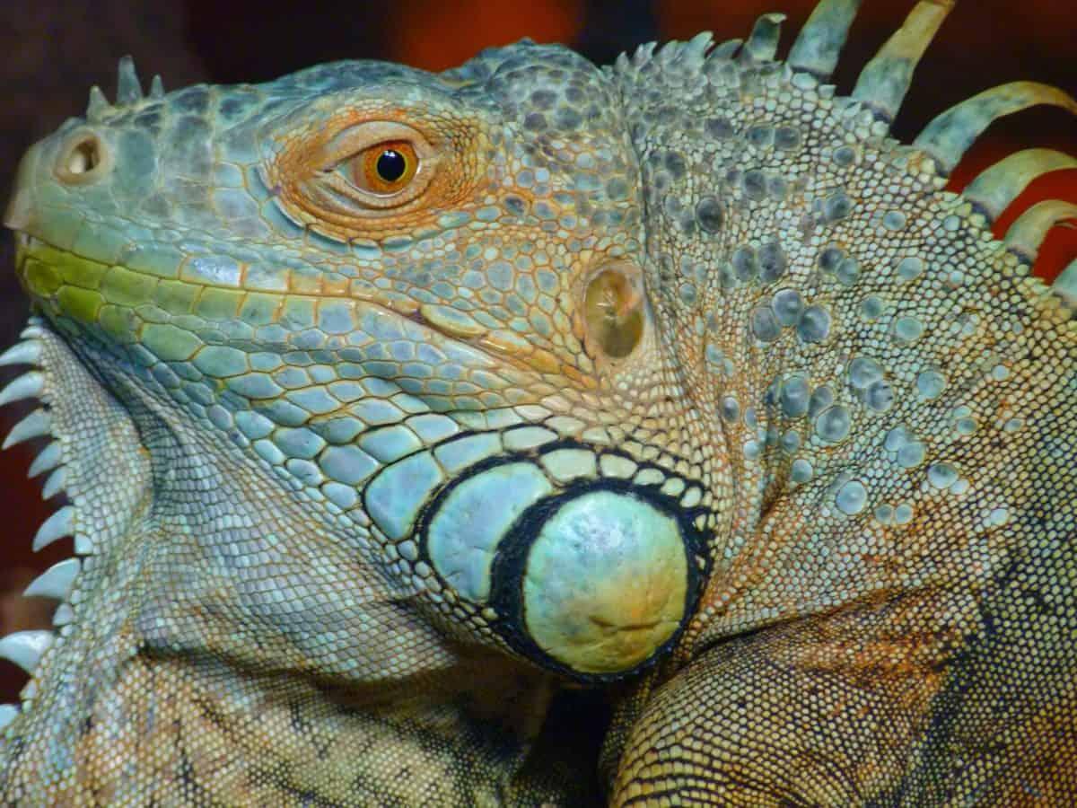 nature, pet, wildlife, chameleon, animal, reptile, lizard, colorful