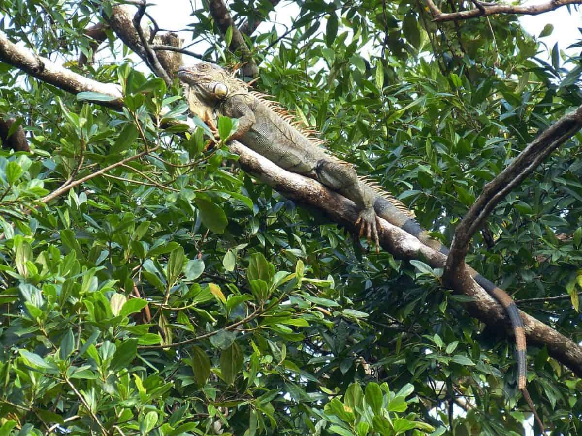 ecologia, vertebrato, all'aperto, ramo, albero, foresta pluviale
