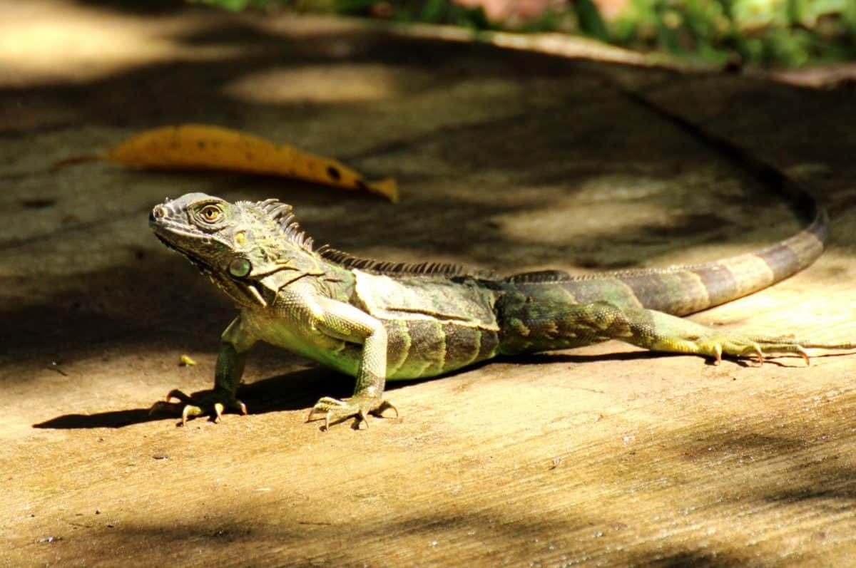 wildlife, animal, nature, lizard, reptile, iguana, wild, dragon