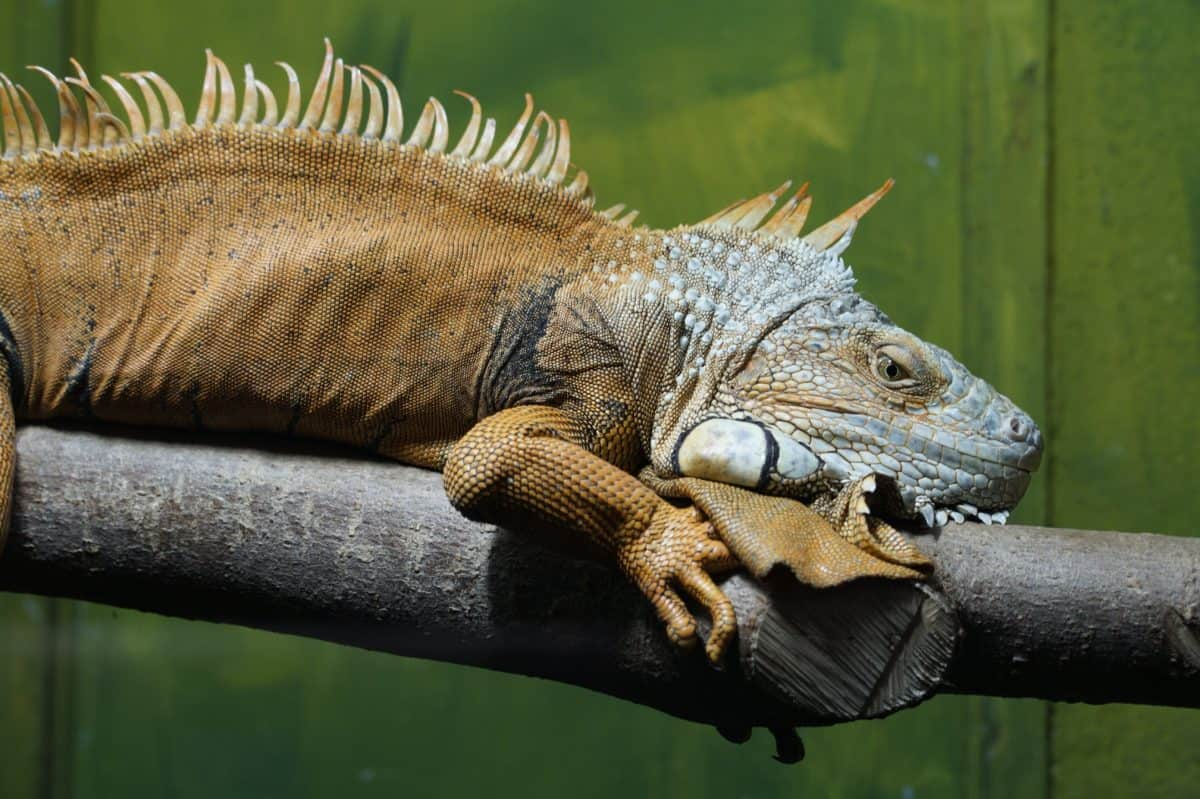 head, reptile, lizard, nature, wild, animal, wildlife, iguana