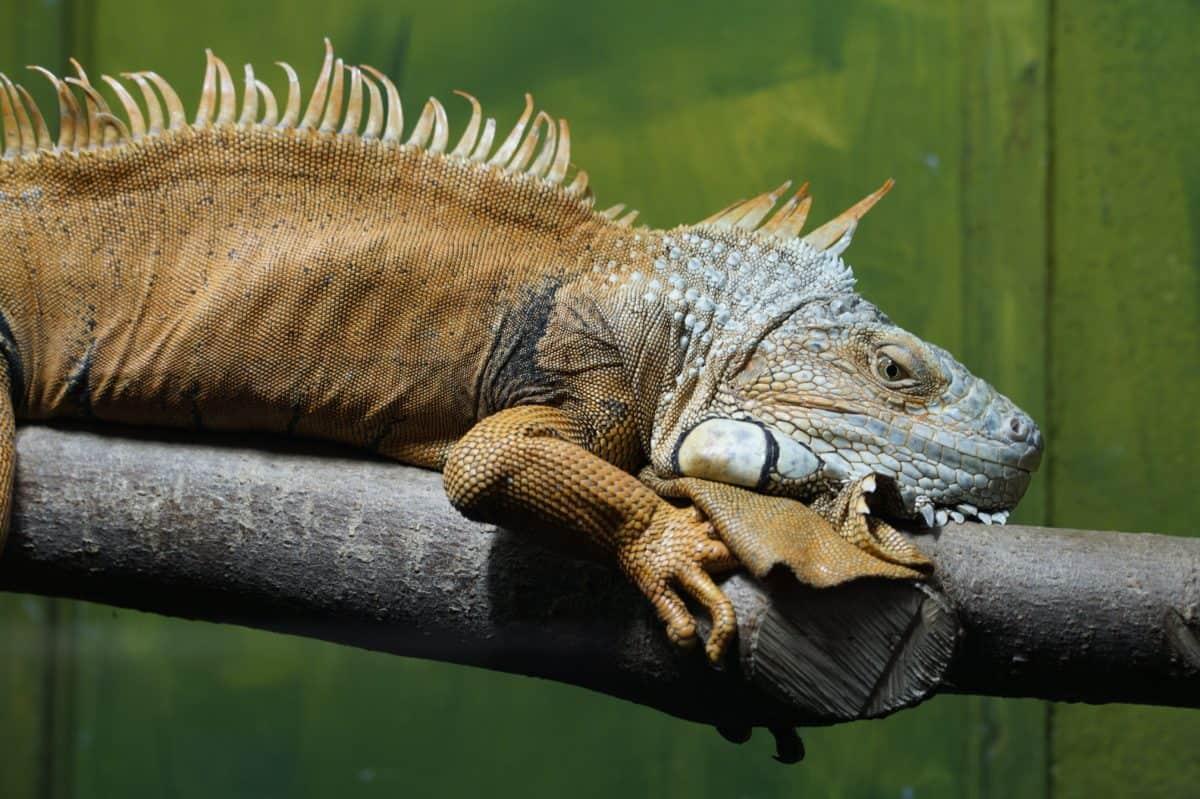 cabeça, réptil, lagarto, natureza, selvagem, animal, animais selvagens, iguana