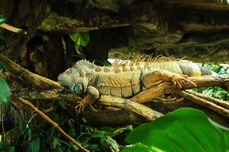 naturaleza, reptil, camaleón, lagartija, persona, vida silvestre, dragón