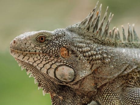 wildlife, animal, nature, camouflage, reptile, lizard, iguana, dragon