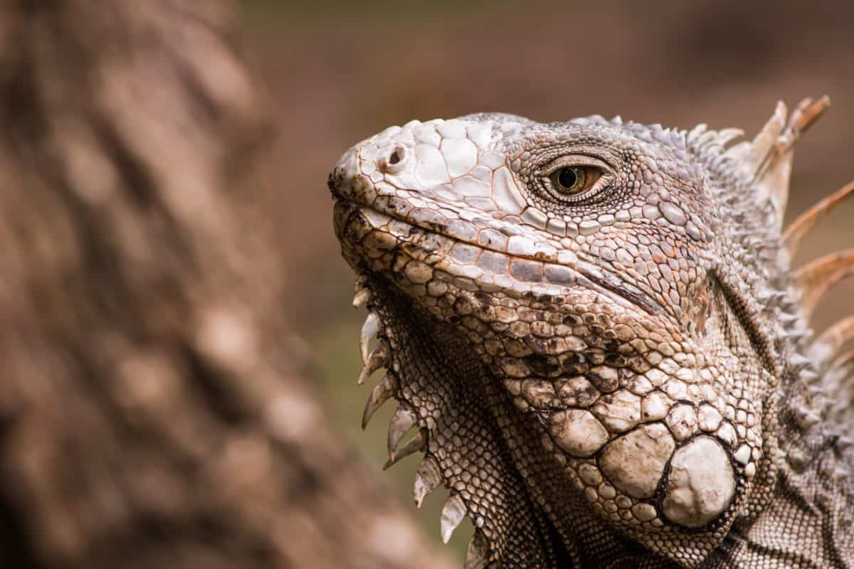 Lagarto, naturaleza, fauna, retratos, reptil, animal, iguana