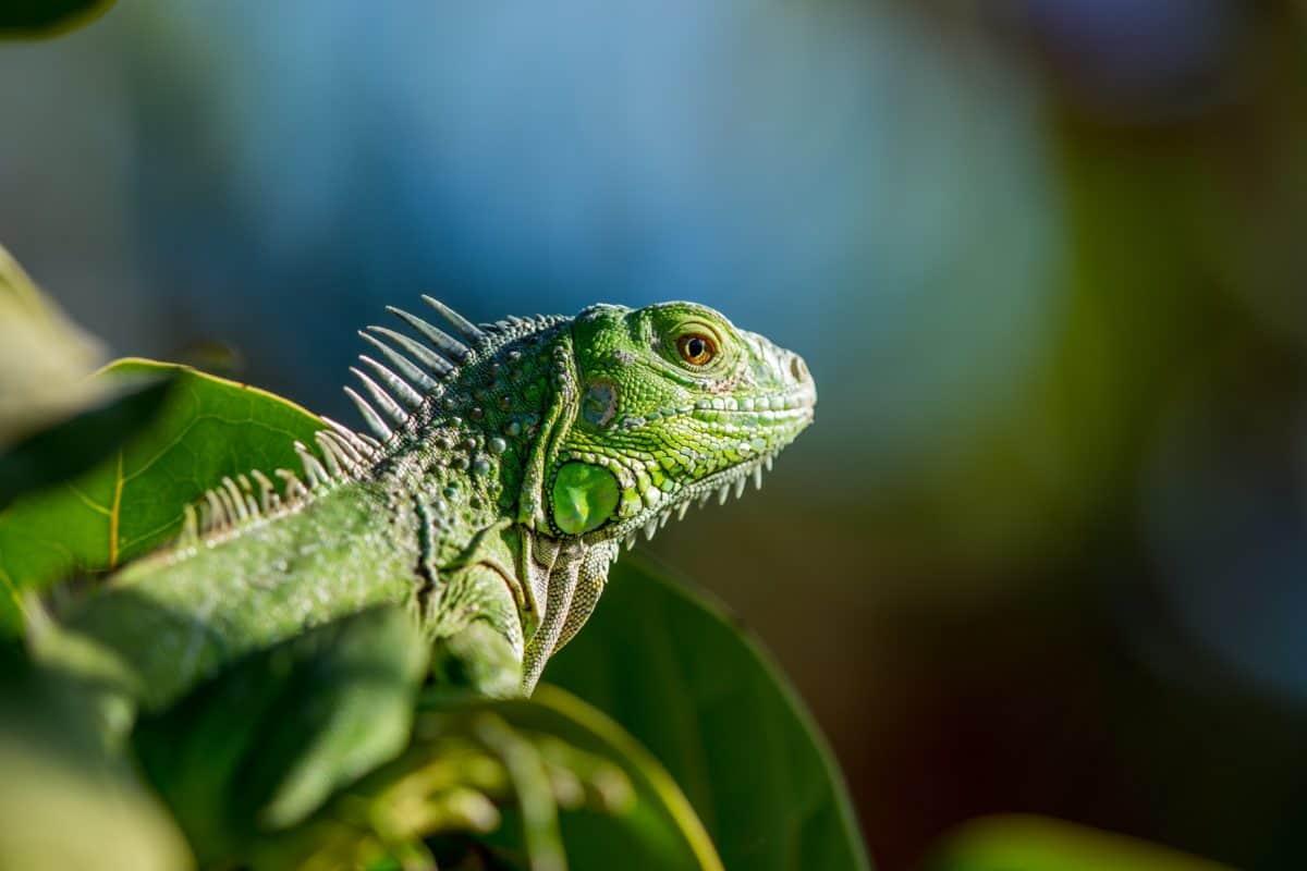 Blatt, Smaragdeidechse, Baum, Natur, Reptilien, Wildtiere, exotisch, Tier