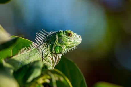 leaf, green lizard, tree, nature, reptile, wildlife, exotic, animal