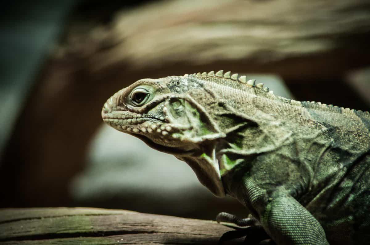reptile, la faune, nature, animaux, lézard, iguane, dragon