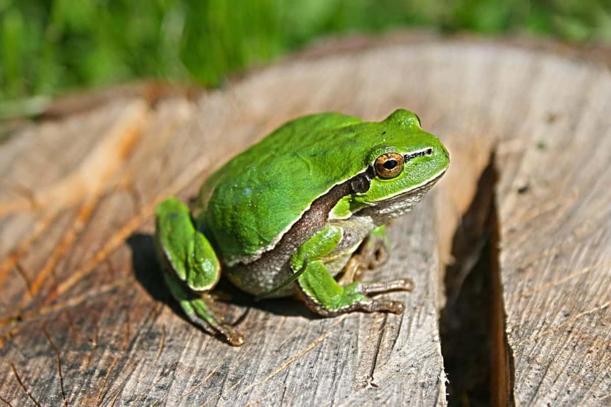 sammakko, wildlife, lehtiä, amphibian, luonto, silmä, eläinten