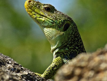 lizard, animal, camouflage, nature, wildlife, reptile, chameleon, iguana