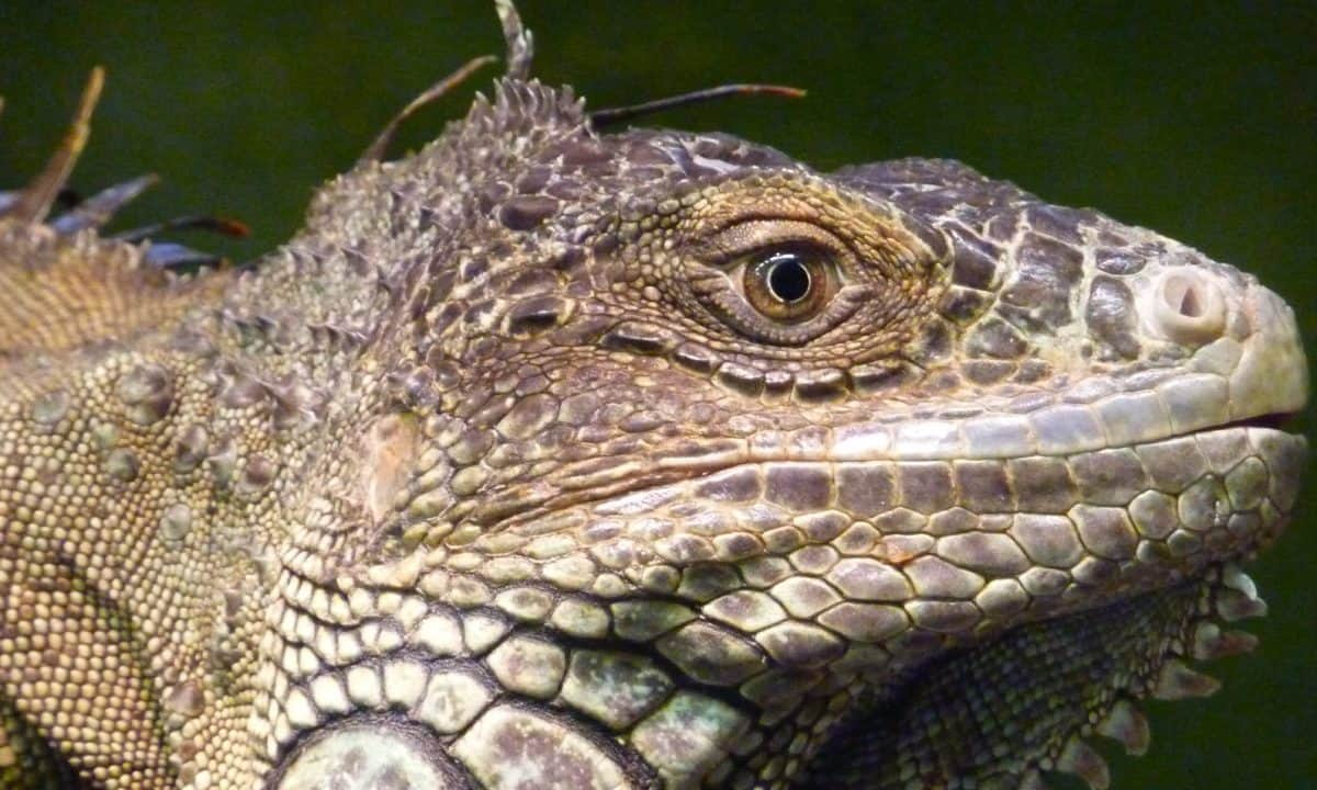 animal, reptile, nature, lizard, wildlife, wild, eye, iguana
