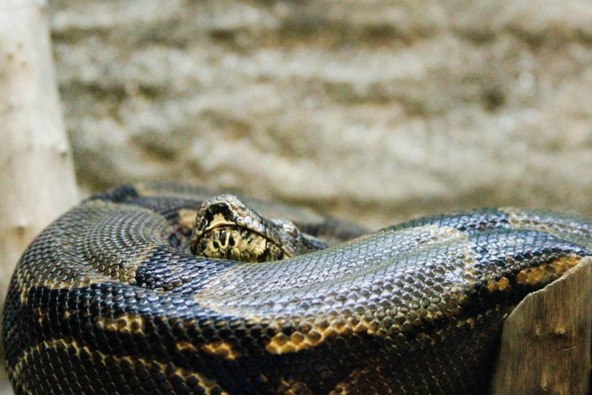 snake, nature, animal, wildlife, reptile, boa, rattlesnake