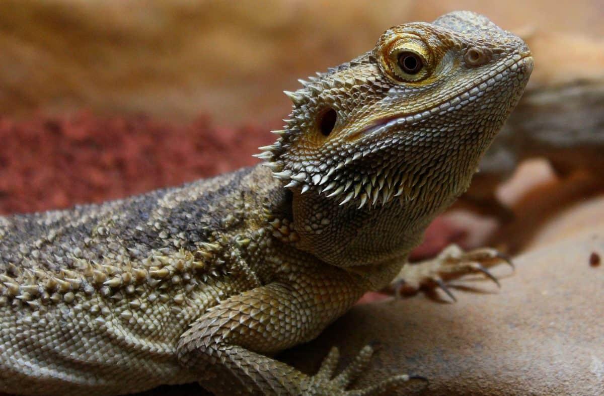 vida silvestre, reptil, naturaleza, lagarto, iguana, dragón, ojo, salvaje