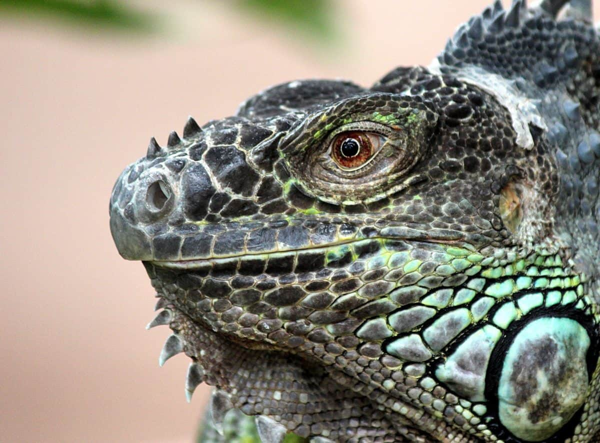 nature, reptile, camouflage, macro, green lizard, wildlife, iguana, dragon, eye, animal