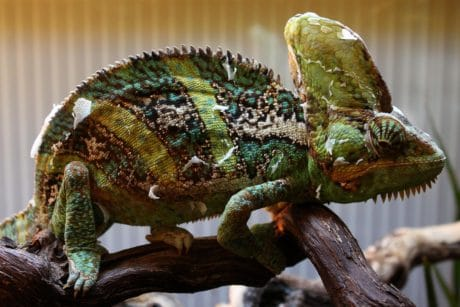 wildlife, lizard, reptile, animal, nature, chameleon, dinosaur