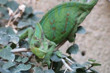 reptile, wildlife, camouflage, green, chameleon, lizard, nature, animal, eye