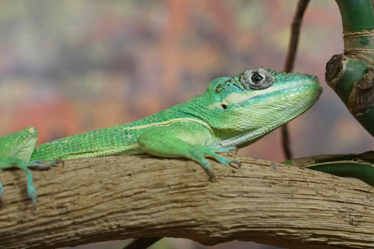 animal, reptile, nature, chameleon, exotic, wildlife, lizard