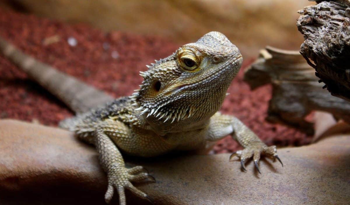 lagarto, réptil, vida selvagem, iguana, dragão, olho, animal de estimação, selvagem