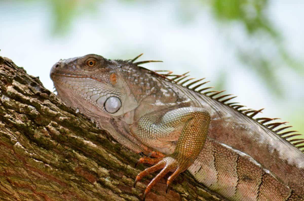 Tier, Natur, Reptil, Echse, Tierwelt, Leguan, Drachen