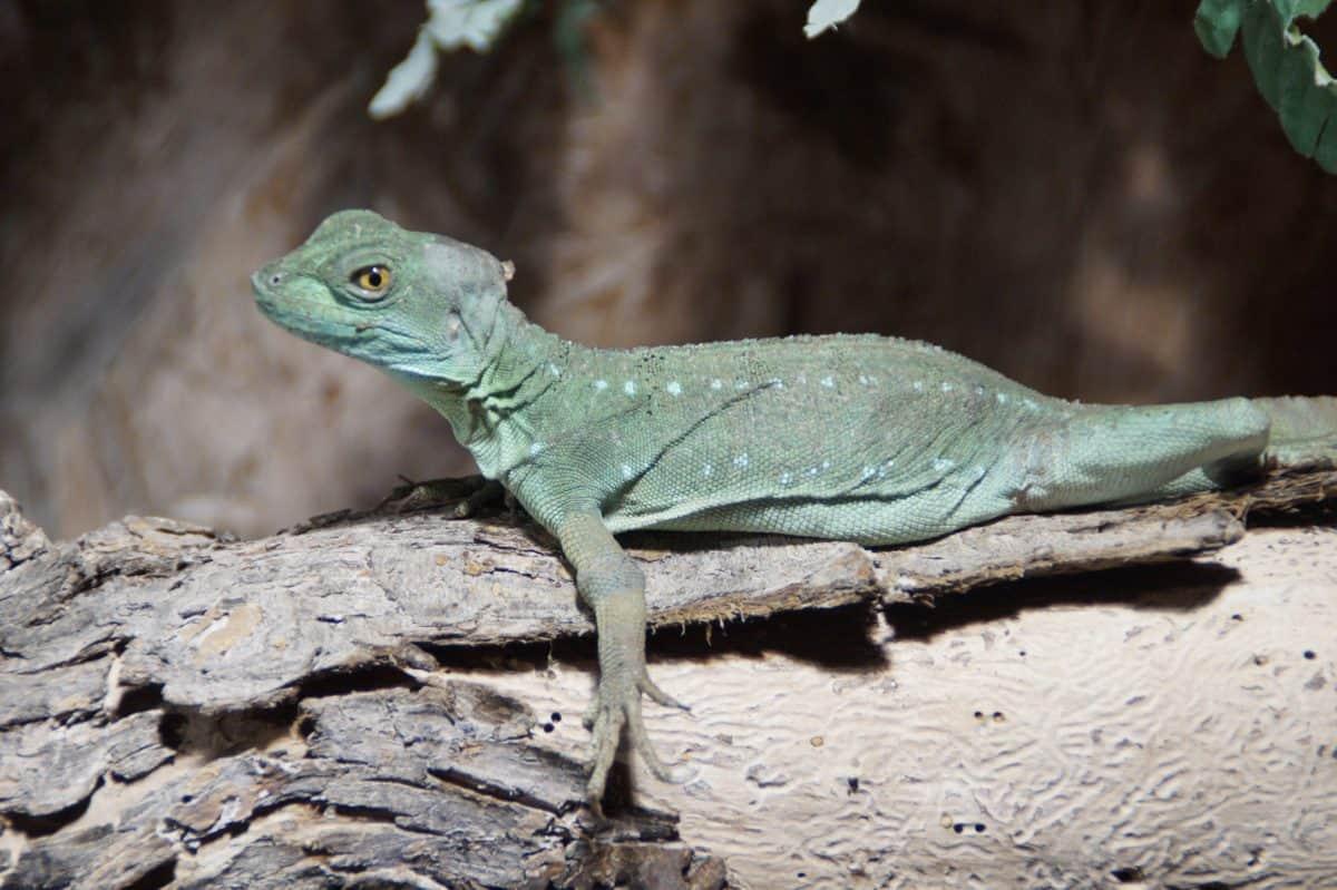 lucertola, natura, fauna, rettile, iguana, drago, occhio, animali