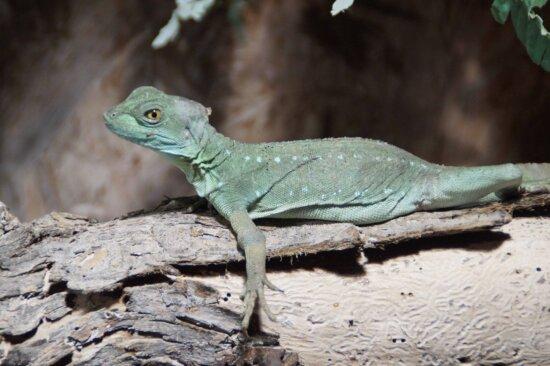 lizard, nature, wildlife, reptile, iguana, dragon, eye, pet