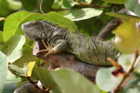 wildlife, tree, camouflage, green lizard, reptile, nature, animal, iguana, dragon