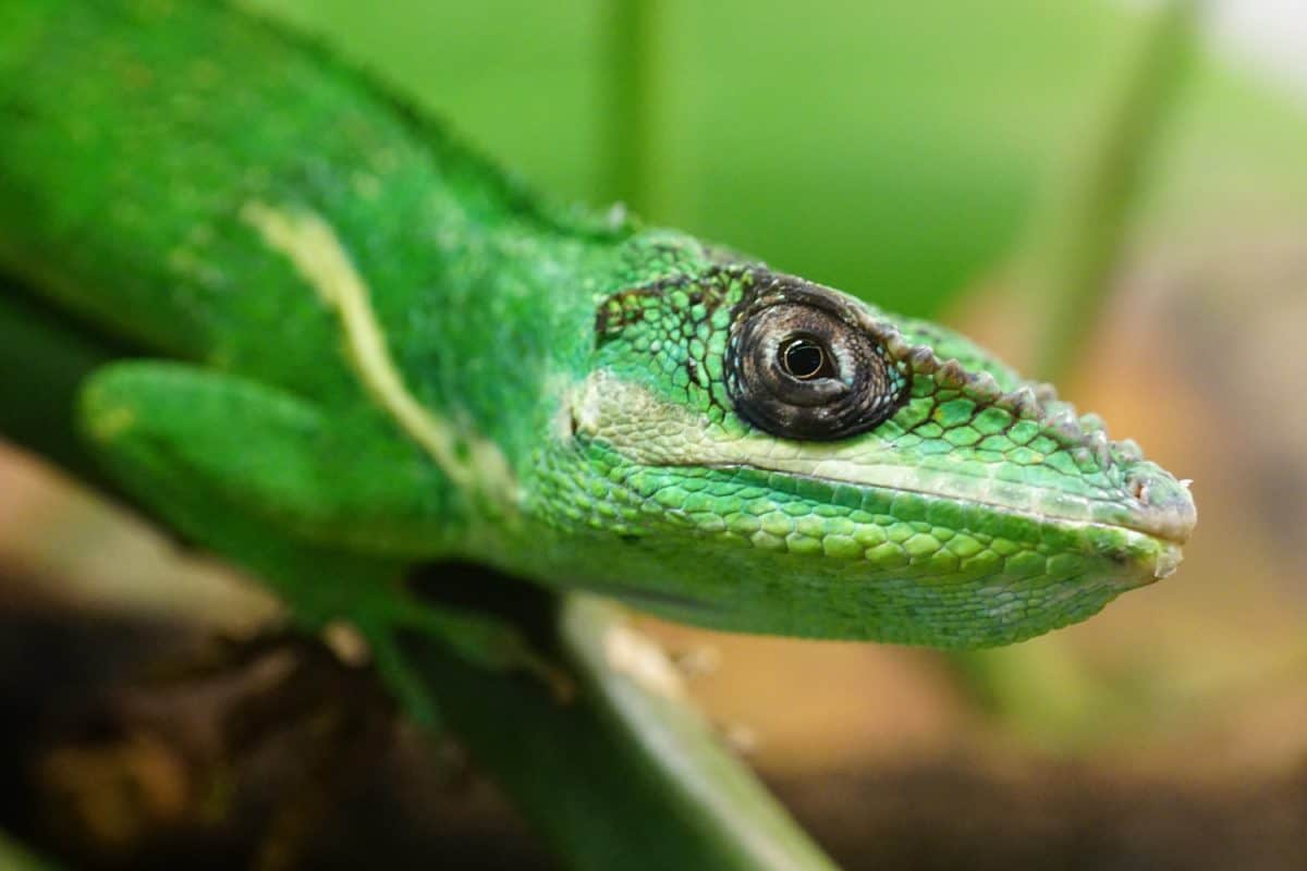reptile, lizard, nature, chameleon, person, wildlife, animal