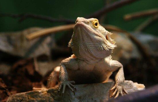 reptile, nature, wildlife, lizard, animal