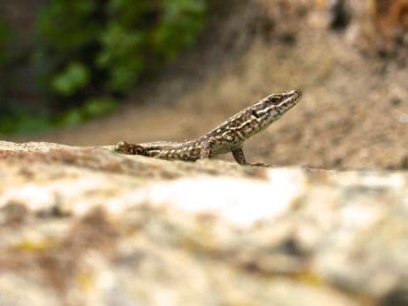 nature, wildlife, lizard, reptile, animal, ground, ground