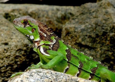 wildlife, animal, nature, reptile, green lizard, camouflage