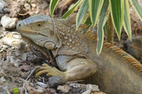 wildlife, nature, animal, reptile, lizard, iguana, dragon