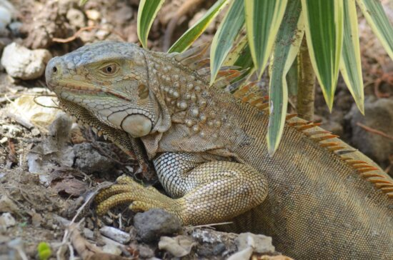 wildlife, nature, animal, reptile, lizard, iguana, dragon