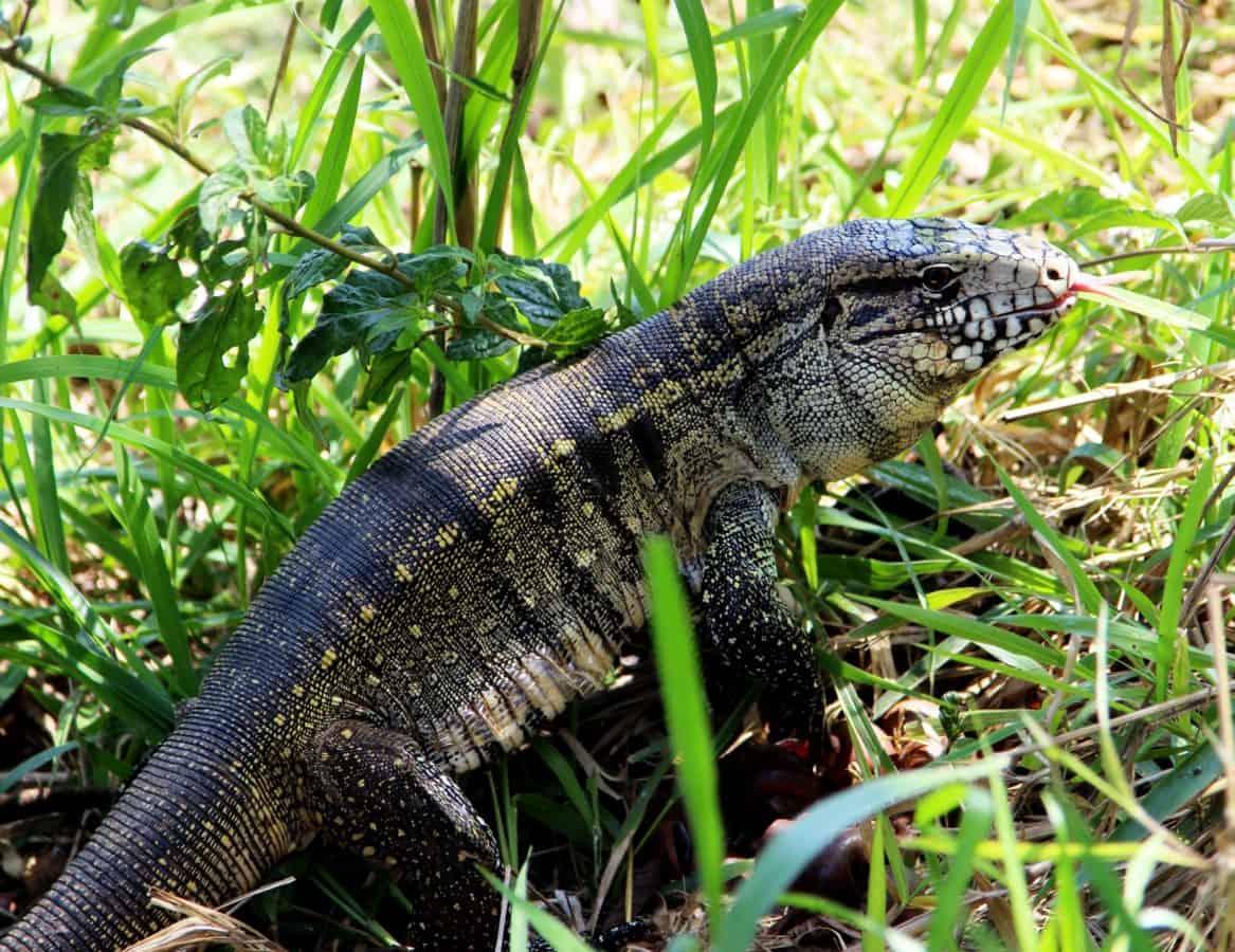 Reptil, Tier, Eidechse, Tarnung, Natur, Tiere, wild