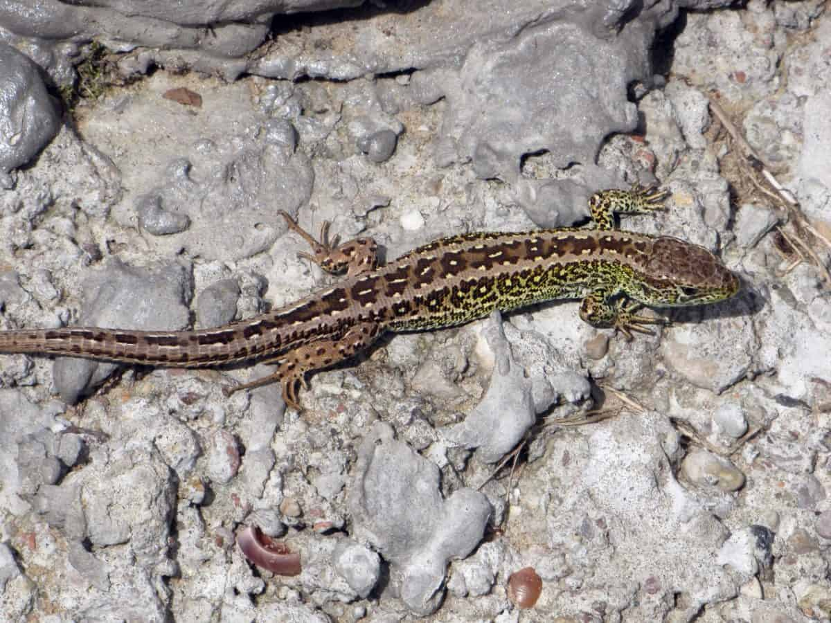 nature de Pierre, camouflage, animaux, reptile lézard, plein air