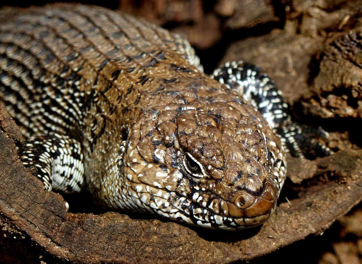 wildlife, nature, camouflage, reptile, lizard, animal
