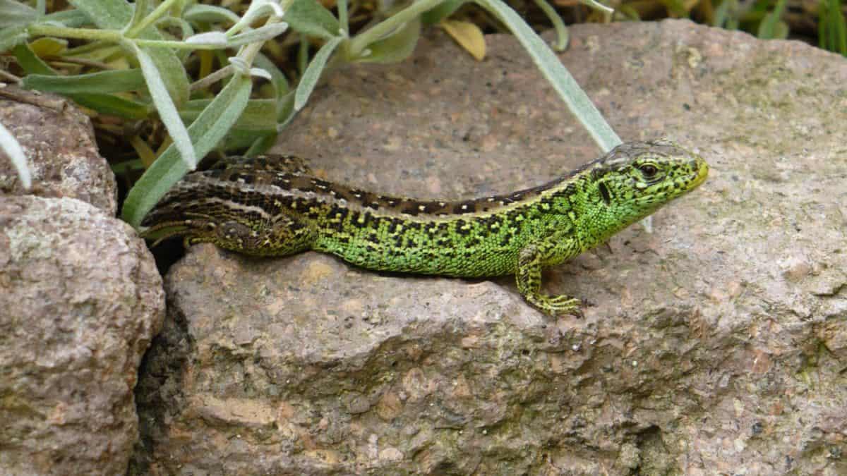 reptile, nature, lézard vert, camouflage, faune, sauvage, animal, sol