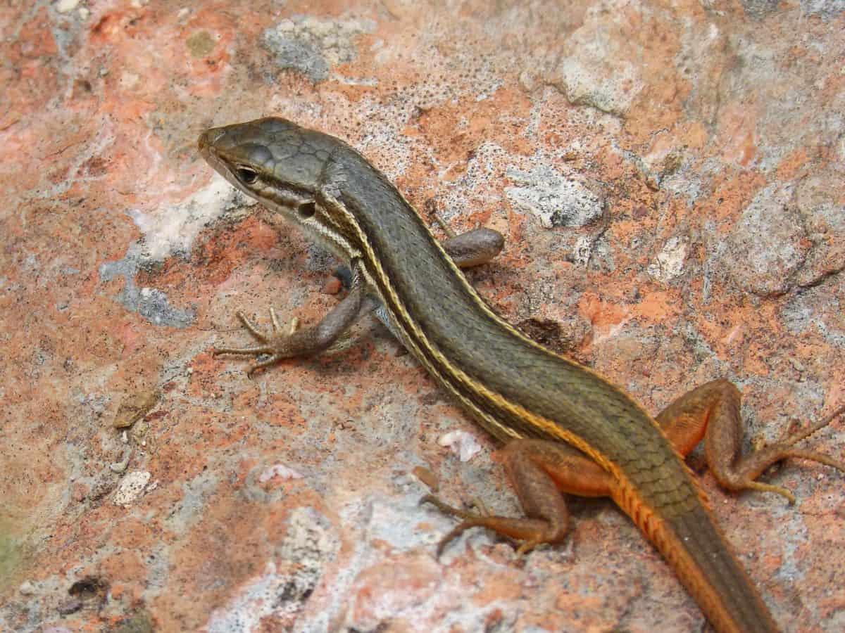 nature, faune, lézard, reptile, Pierre, extérieur, écologie