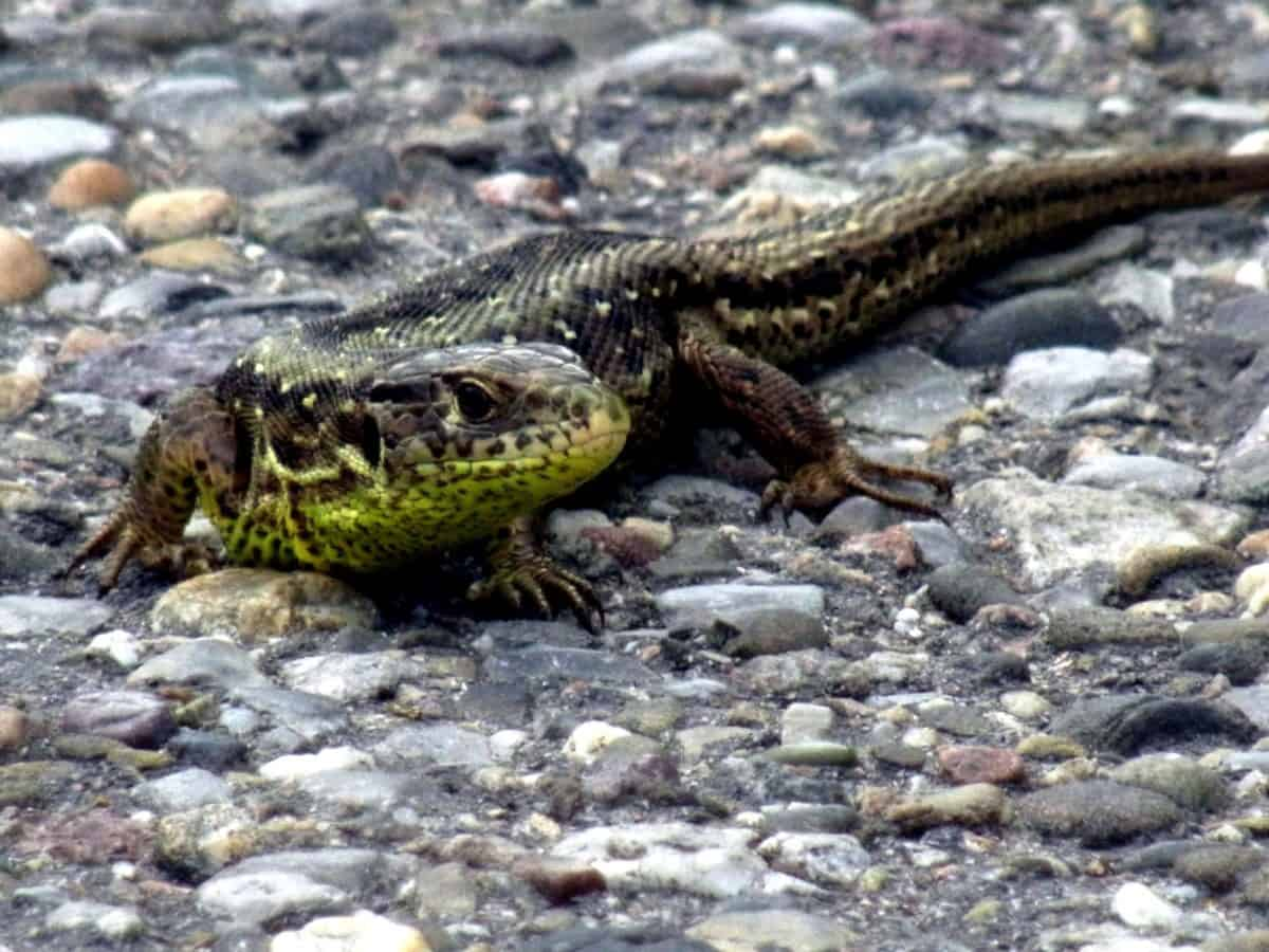 nature, reptile, wildlife, stone, camouflage, wild, animal