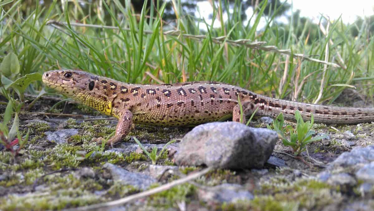 salvaje, lagarto, reptil, fauna, animal, naturaleza, camuflaje