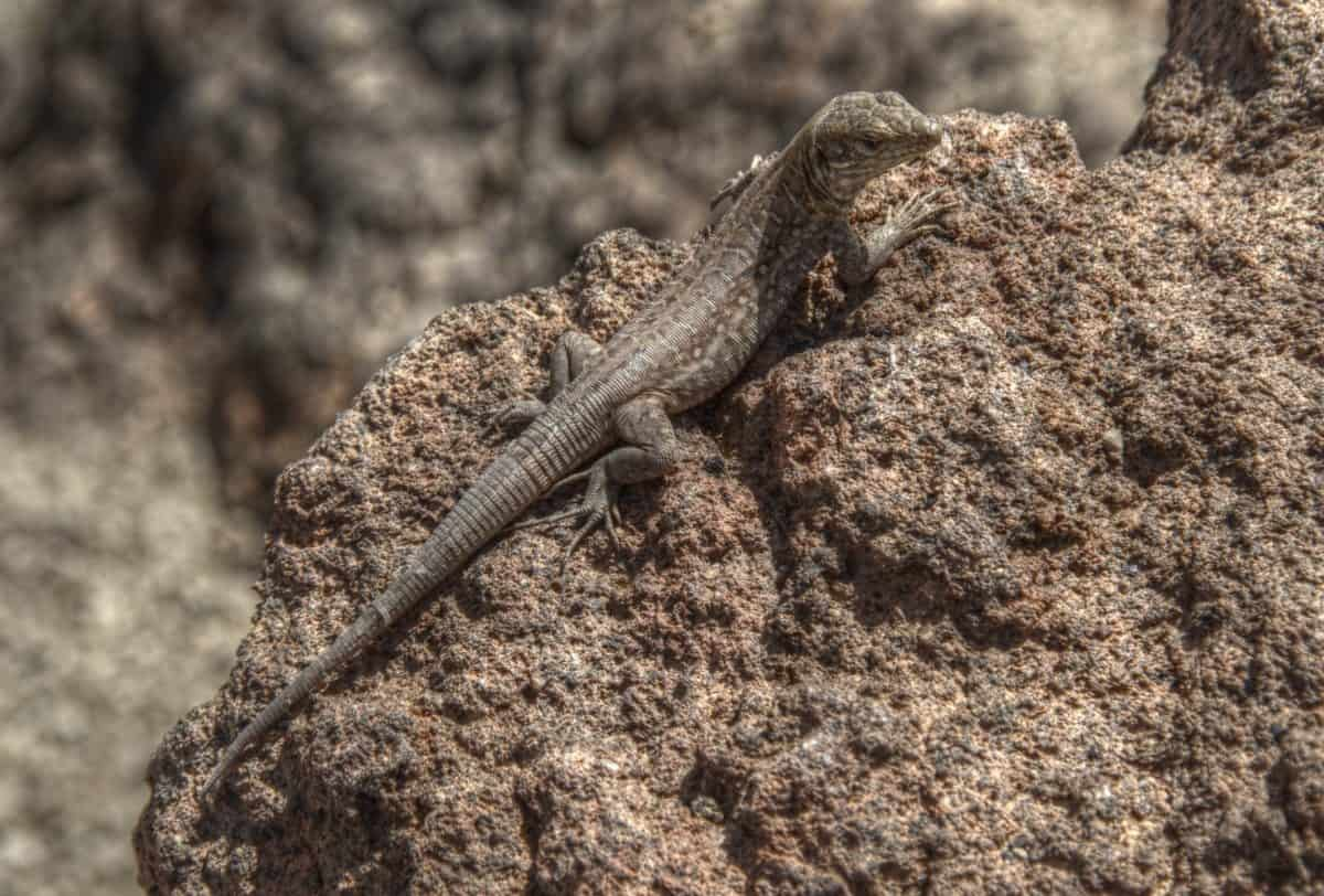 animal, animaux, reptile, camouflage, nature, désert, lézard, sauvage, sol