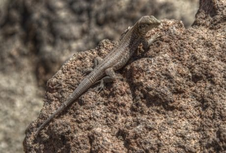 animal, wildlife, reptile, camouflage, nature, desert, lizard, wild, ground