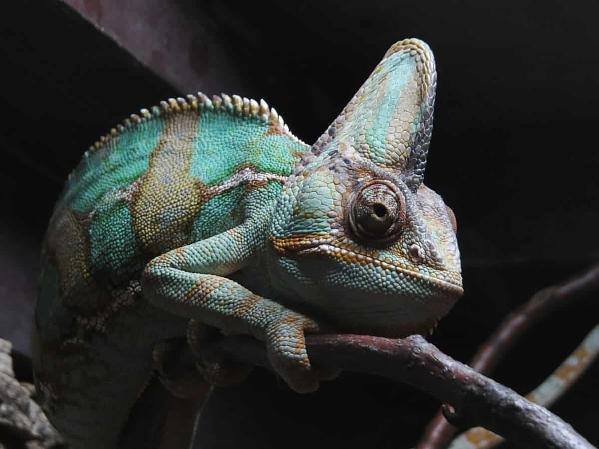 la faune, reptile, lézard, caméléon, ombre, personne, animal, dragon