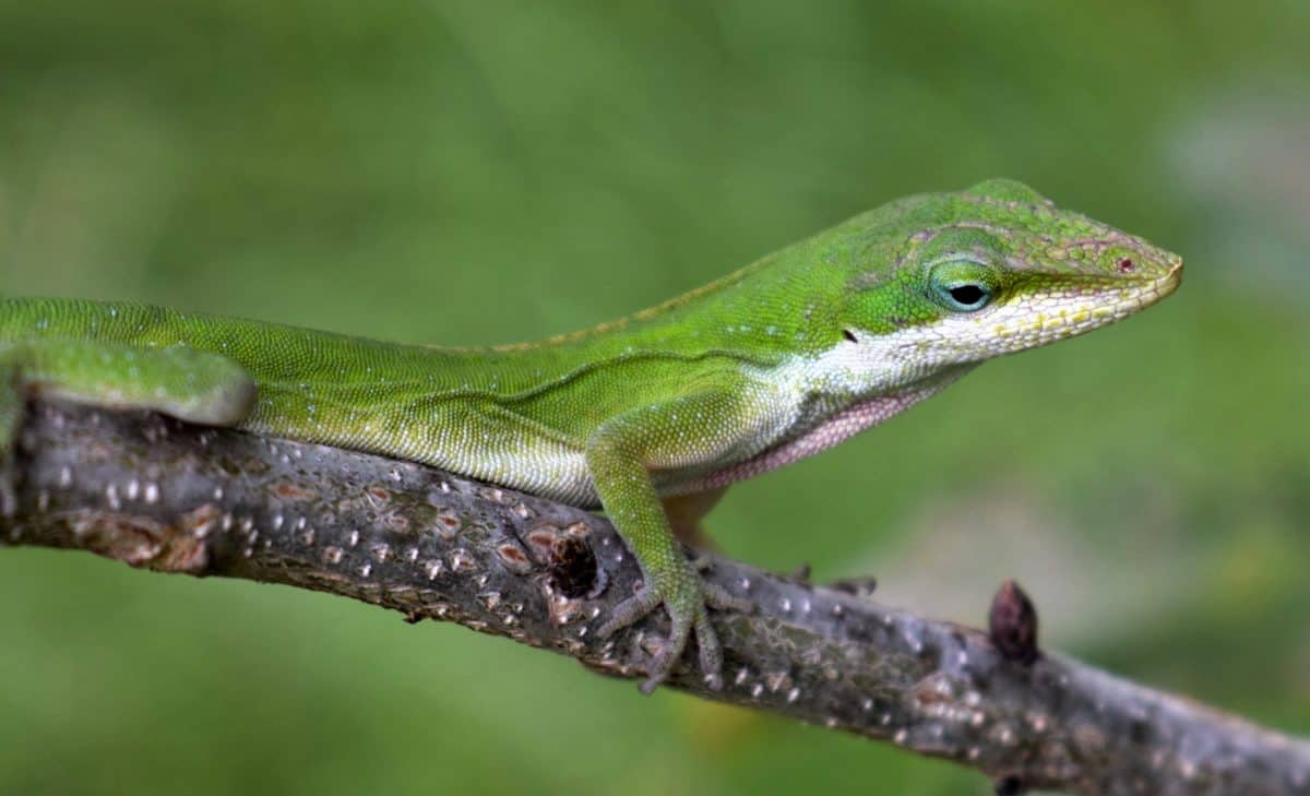 lizard, leaf, nature, reptile, wildlife, animal, green