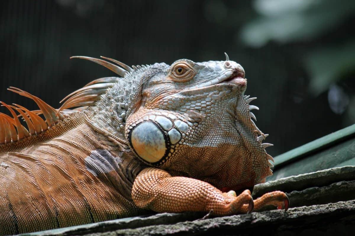nature, animaux exotiques, lézard coloré, reptile, la faune, iguane, dragon