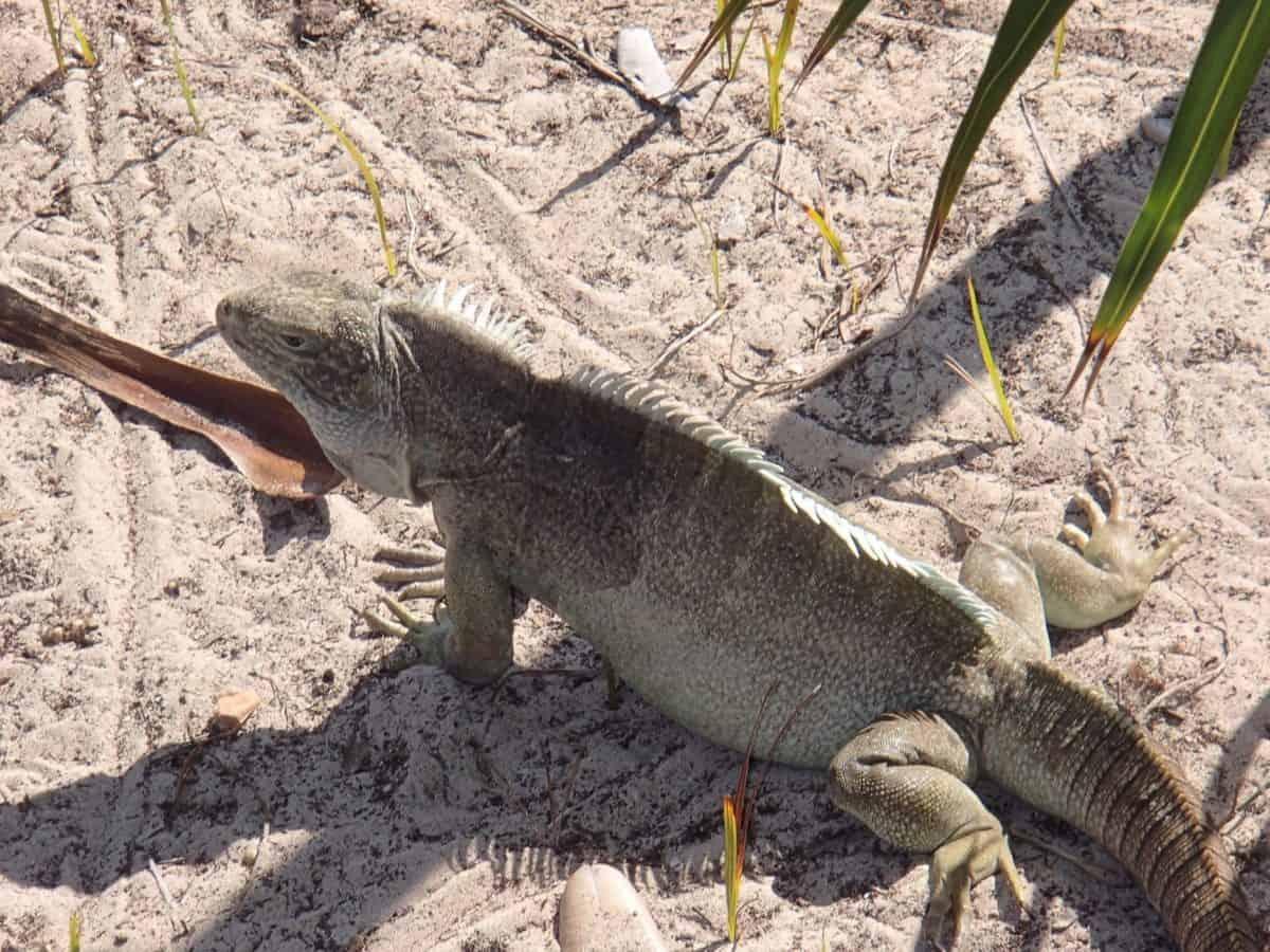 Wüste, Natur, Tier, Reptil, Echse, Tierwelt, Sand, Wild, Sahdow, Tarnung
