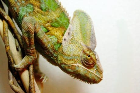 camouflage, colorful, reptile, nature, wildlife, animal, lizard, chameleon