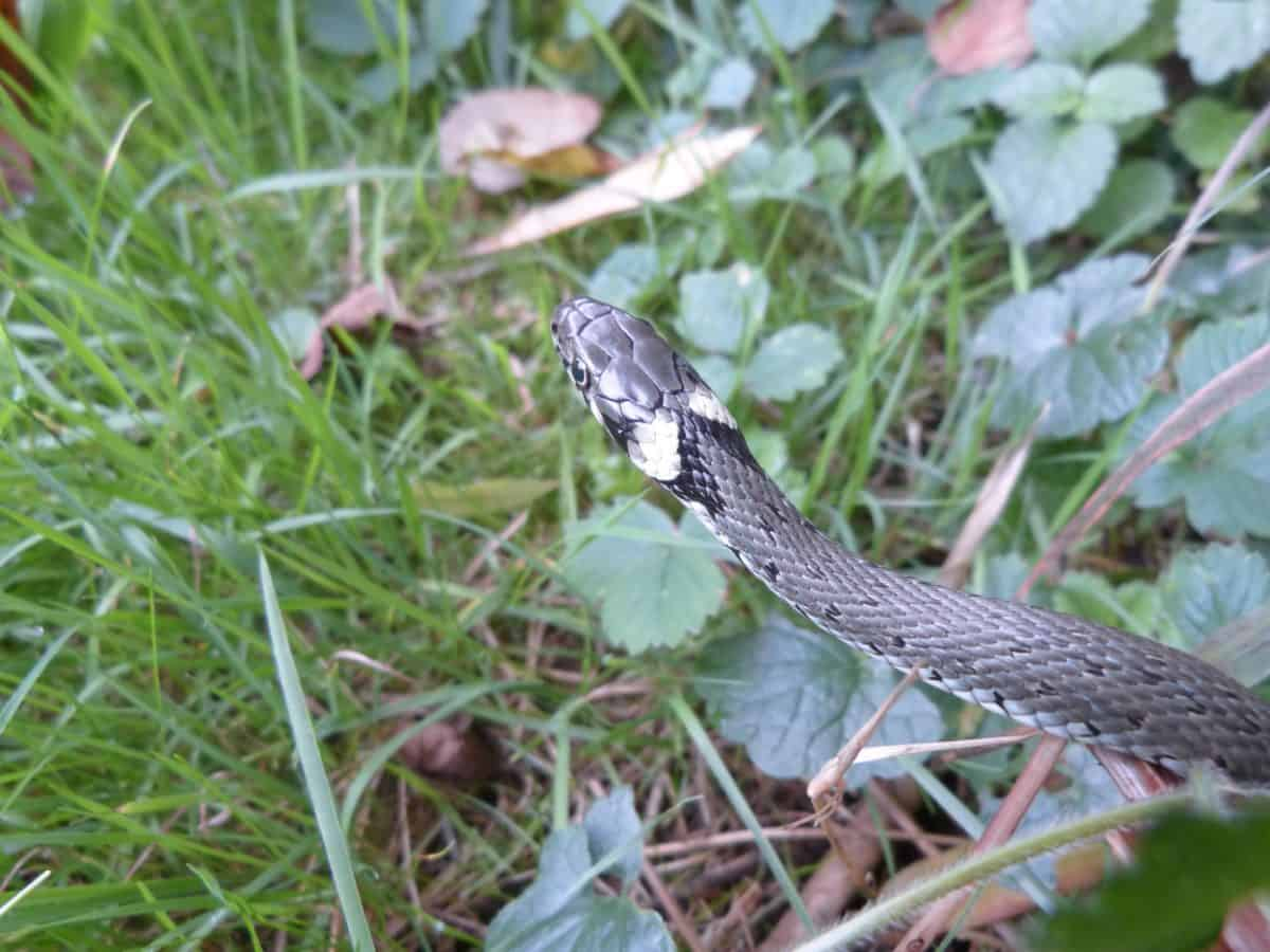 la faune sauvage, herbe, animal, camouflage, nature, serpent, reptile, sauvage, en plein air