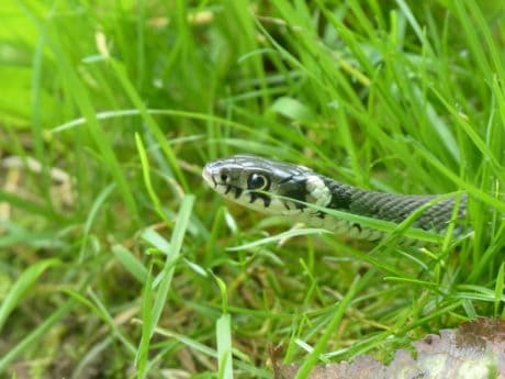 nature, animal, snake, camouflage, reptile, wildlife, green grass, outdoor