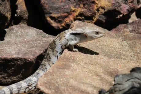 reptile, wildlife, nature, lizard, wild, animal, ground, outdoor