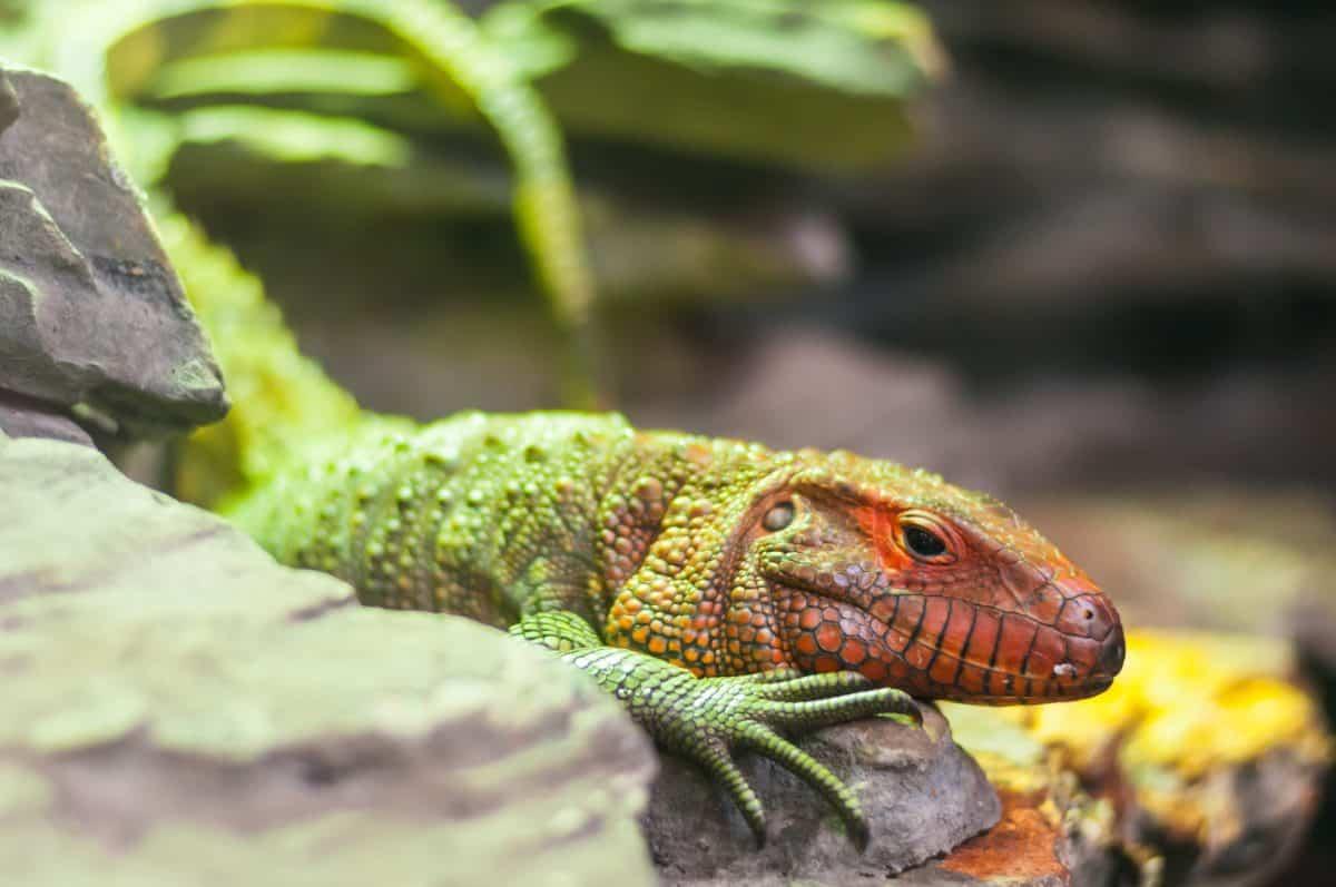 lézard coloré, reptile, la faune, nature, animaux exotiques, iguane, dragon