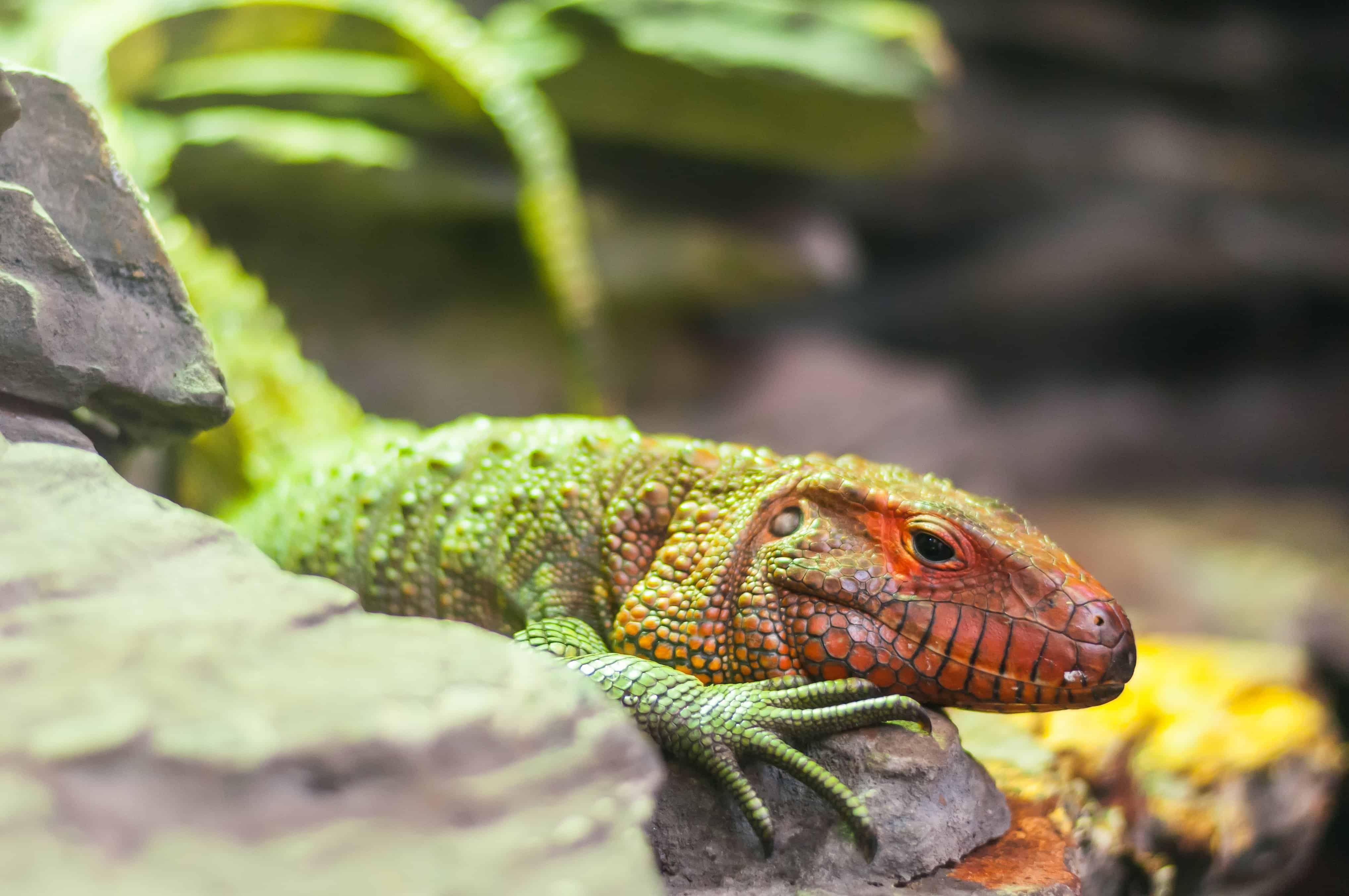 colorful lizard exotic animal iguana reptile nature dragon wildlife reptiles animals lizards geckos amphibians